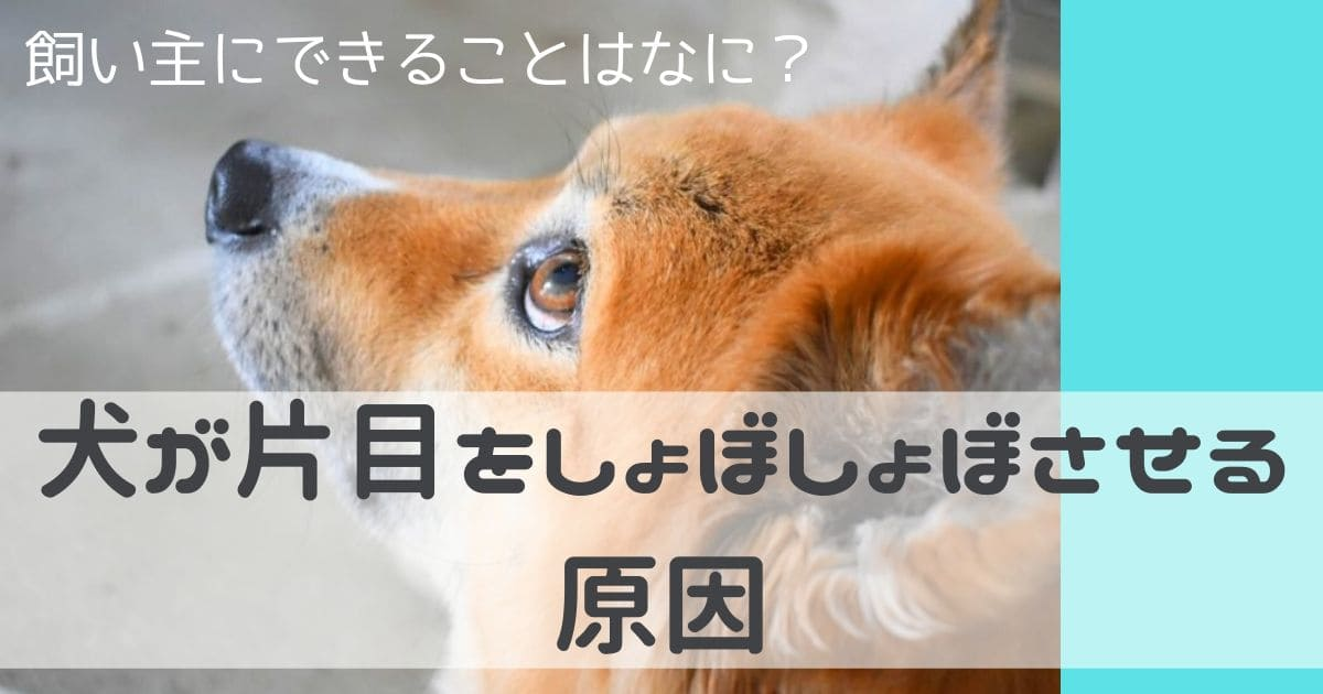 犬 片目しょぼしょぼ原因